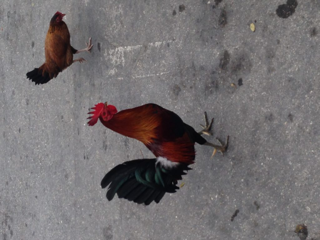 Roosters walking around downtown Key West