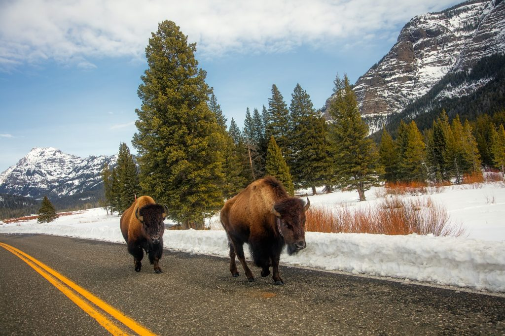 Bison in Yellowstone National Park walking down the road